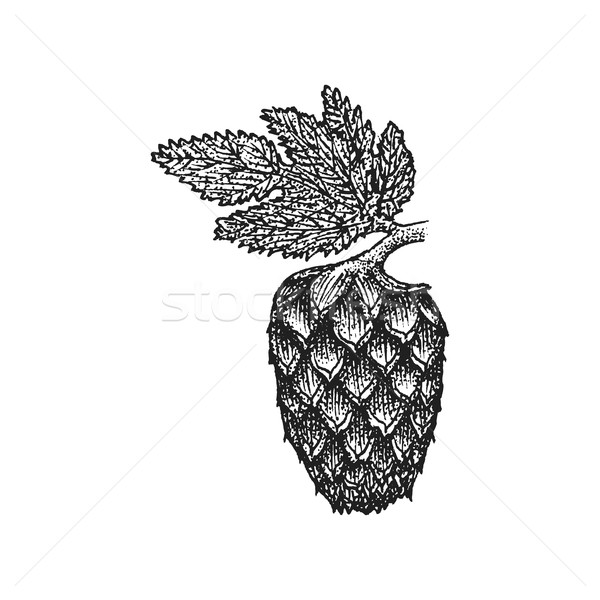 vector engraving hops cone illustration