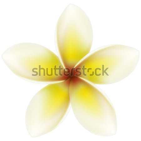 Plumeria Stock photo © tshooter