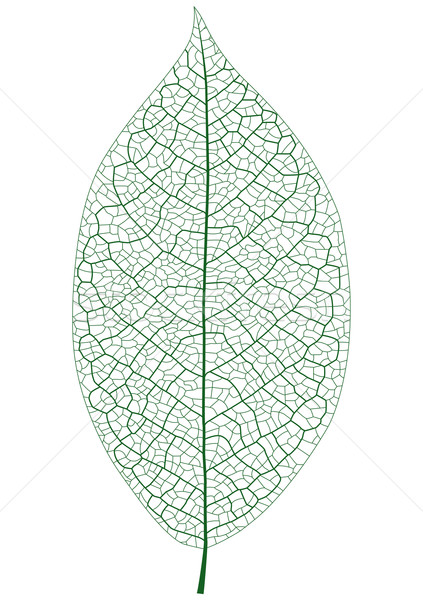 лист вена дерево зеленый жизни Сток-фото © tshooter