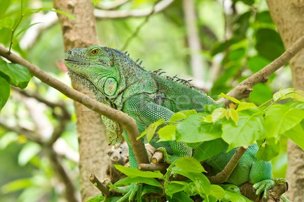 ストックフォト: 緑 · イグアナ · 森林 · 熱帯 · 動物 · トカゲ