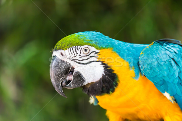 blue and yellow macaw Stock photo © tungphoto