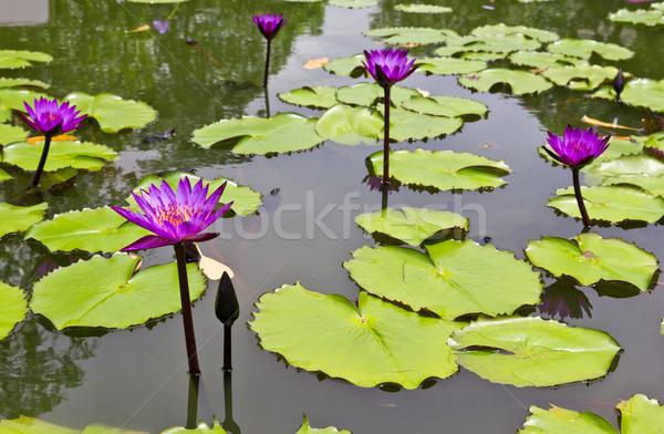 Stockfoto: Paars · water · lelie · hand · bloem · natuur