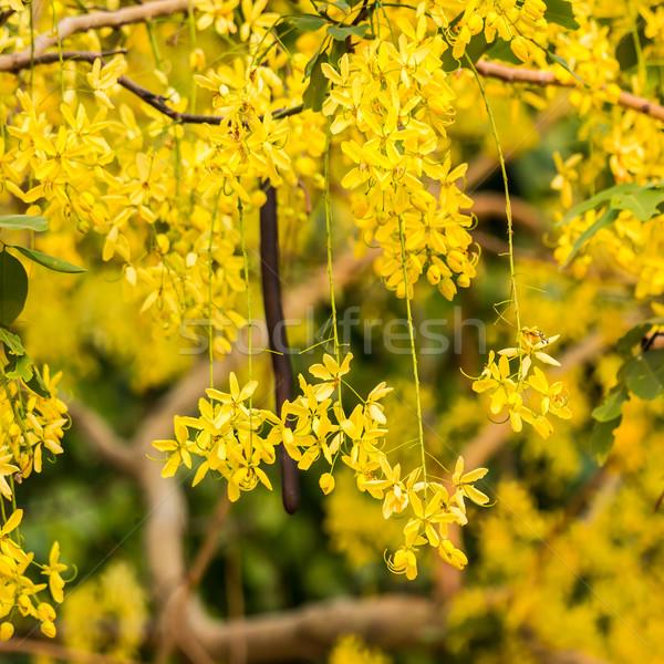 Golden shower, Cassia fistula flower Stock photo © tungphoto