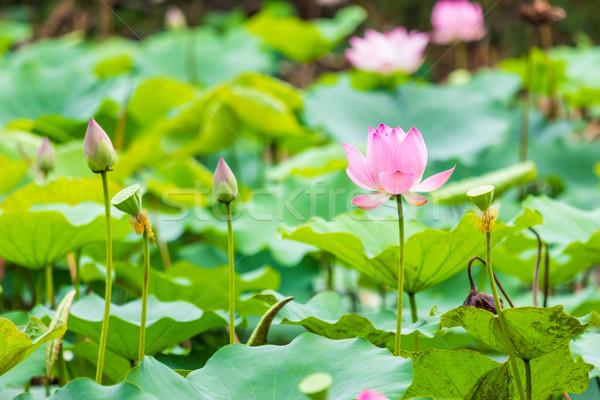 Gyönyörű víz liliom levél tavacska virág Stock fotó © tungphoto