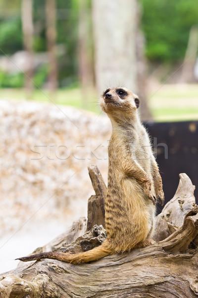 portrait of meerkat Stock photo © tungphoto