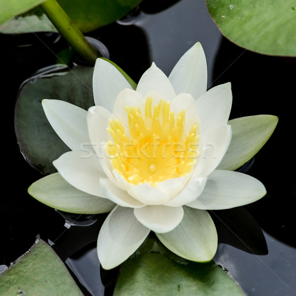 white water lily or lotus Stock photo © tungphoto