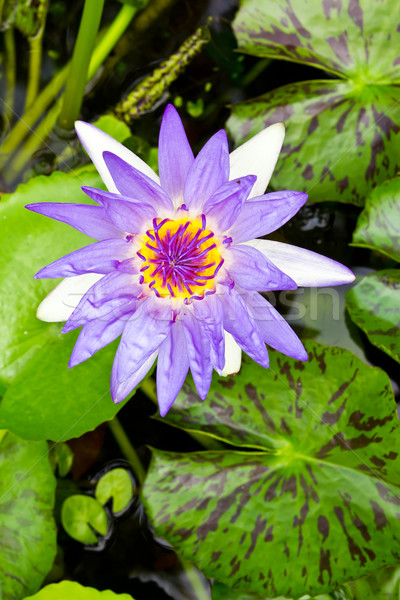 purple water lily Stock photo © tungphoto