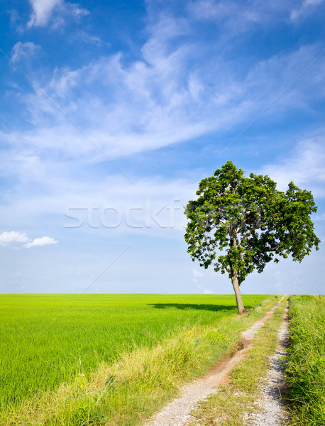 clay road in paddy field Stock photo © tungphoto