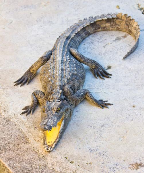 Veszélyes krokodil nyitva száj természet bőr Stock fotó © tungphoto