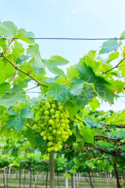 зеленый винограда фрукты зеленые листья фермы продовольствие Сток-фото © tungphoto
