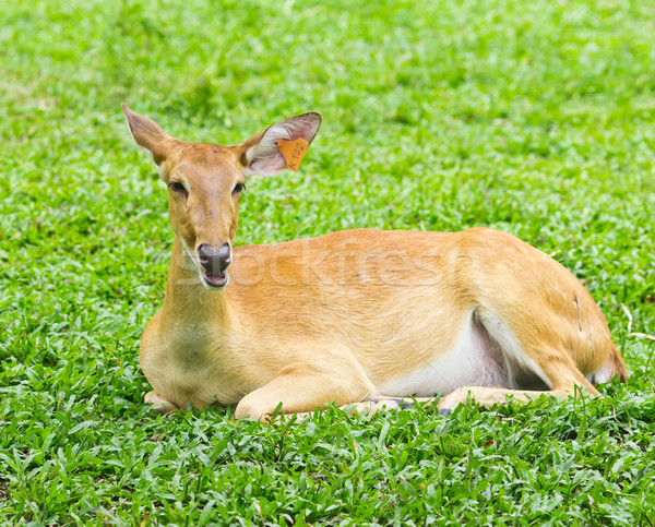 portrait of deer Stock photo © tungphoto