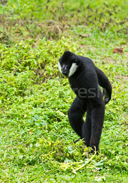 white Cheek Gibbon Stock photo © tungphoto