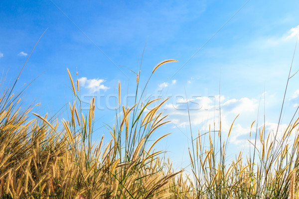 steppe grass against blue sky Stock photo © tungphoto