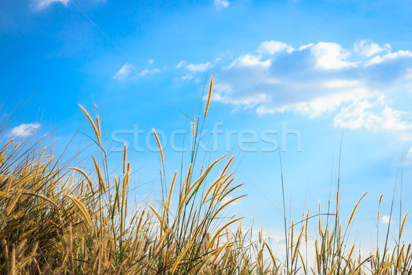 steppe grass against blue sky Stock photo © tungphoto