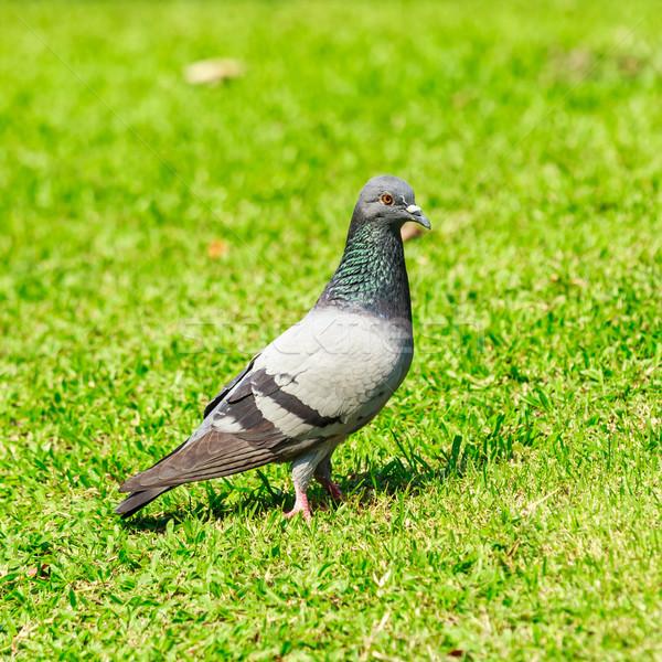 Foto d'archivio: Piccione · erba · verde · amore · uccello · ritratto · animali