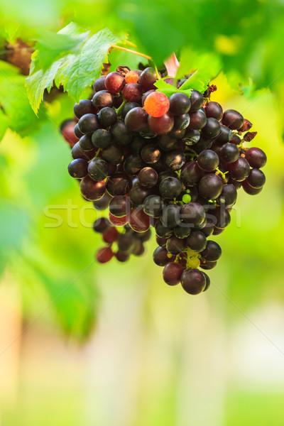 紫色 ブドウ フルーツ 緑の葉 ファーム 食品 ストックフォト © tungphoto