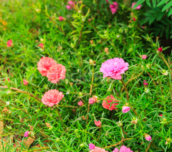 portulaca flowers Stock photo © tungphoto