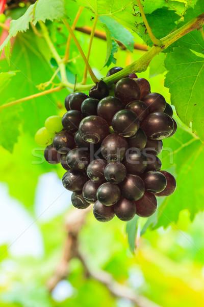 Purple винограда фрукты зеленые листья фермы продовольствие Сток-фото © tungphoto