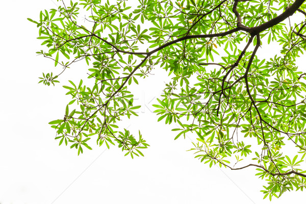 green leaves isolated on white background Stock photo © tungphoto