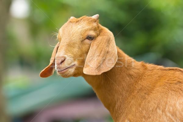 portrait of goat Stock photo © tungphoto
