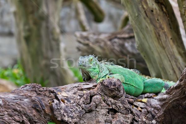 Groene leguaan bos tropische dier hagedis Stockfoto © tungphoto