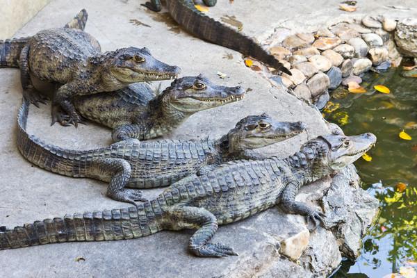Jungen Krokodile beobachten Wasser grünen Mund Stock foto © tungphoto