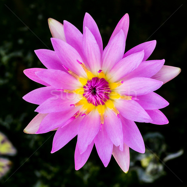 purple water lily or lotus Stock photo © tungphoto
