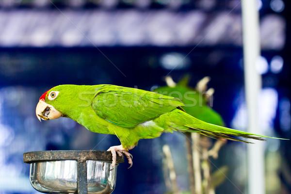 portrait of green  parrot bird Stock photo © tungphoto