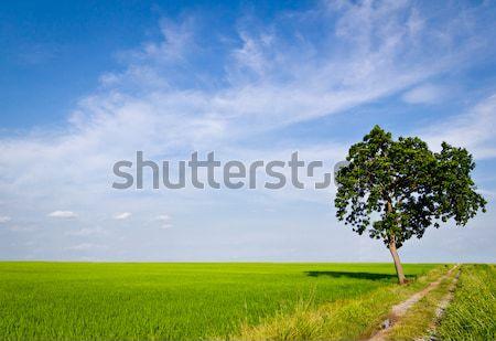 tree in paddy field Stock photo © tungphoto