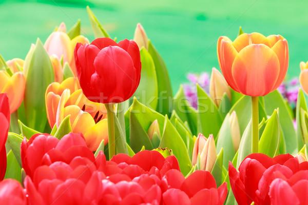 Pomarańczowy czerwony tulipan Wielkanoc wiosną trawy Zdjęcia stock © tungphoto