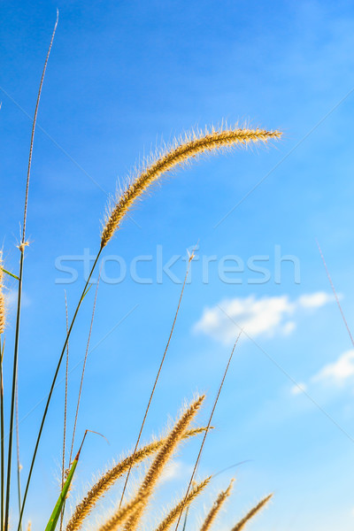 steppe grass Stock photo © tungphoto