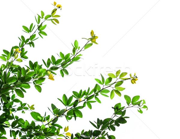 Zöld levelek izolált fehér textúra fa tavasz Stock fotó © tungphoto