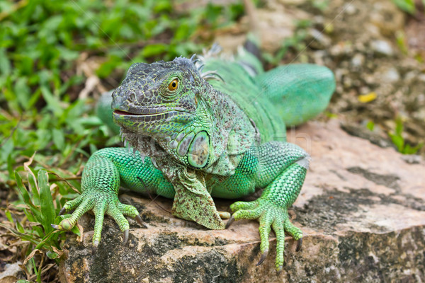 Verde iguana floresta tropical animal lagarto Foto stock © tungphoto