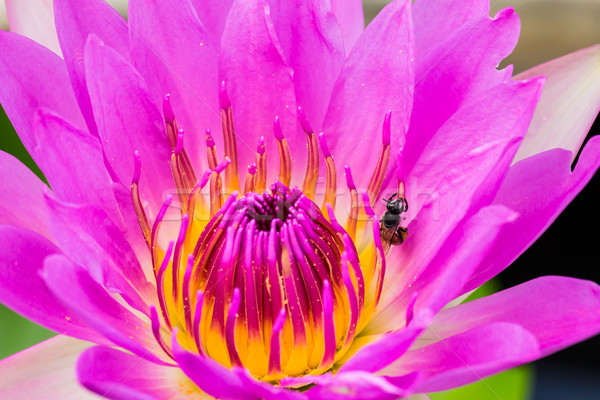 bee in purple water lily or lotus Stock photo © tungphoto