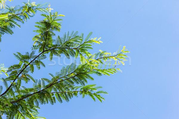 Zielone liście Błękitne niebo drzewo wiosną słońce ogród Zdjęcia stock © tungphoto