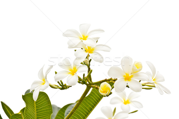 White frangipani on white background Stock photo © tungphoto