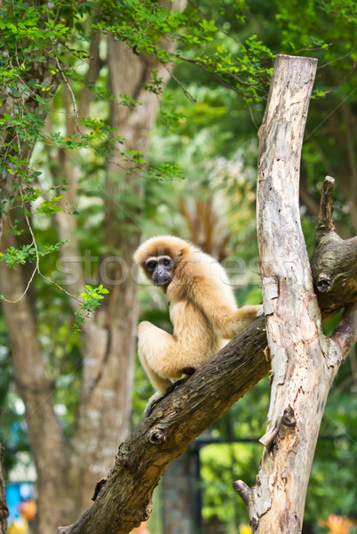 White handed Gibbon or Lar Gibbon Stock photo © tungphoto