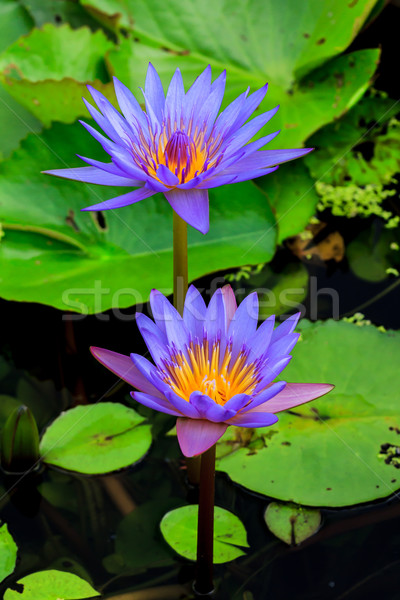 blue water lily or lotus Stock photo © tungphoto