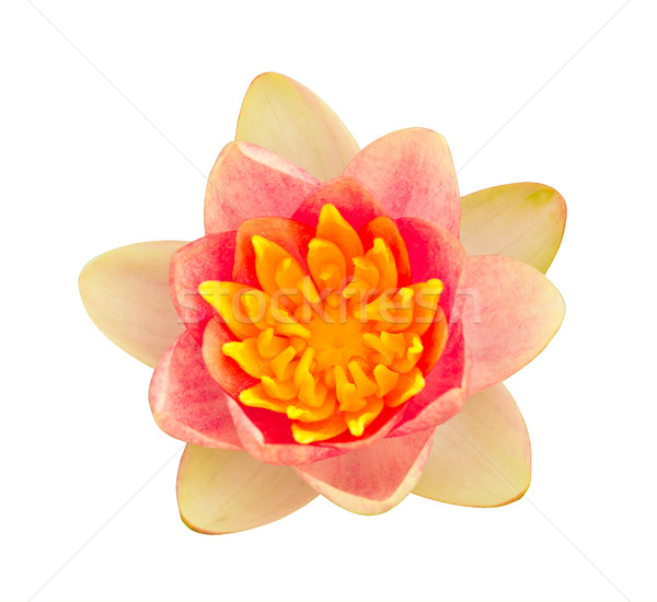 pink water lily isolated Stock photo © tungphoto