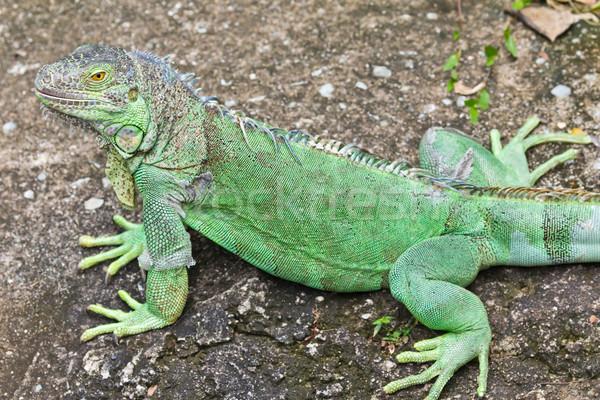 Foto stock: Verde · iguana · floresta · tropical · animal · lagarto