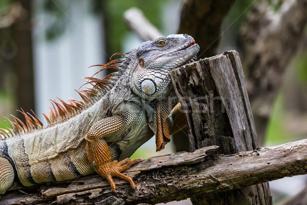 Stockfoto: Leguaan · hout · gras · bos · lichaam · tropische