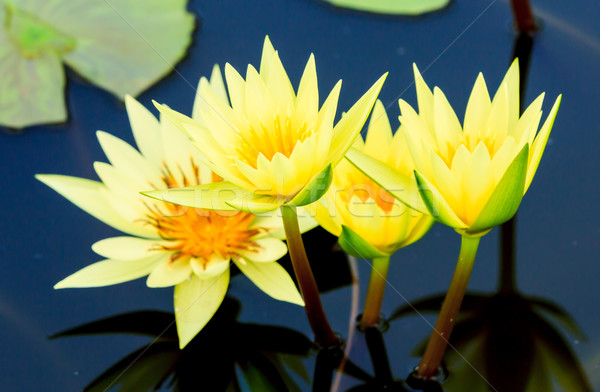 yellow water lily or lotus Stock photo © tungphoto