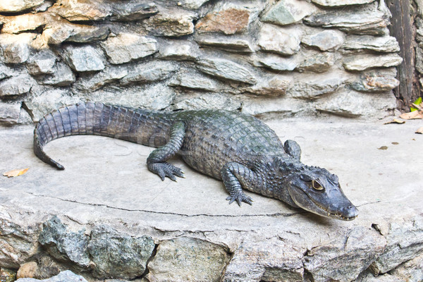 Jovem crocodilo água verde boca retrato Foto stock © tungphoto