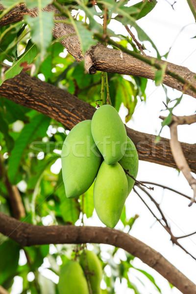 mangoes on mango tree Stock photo © tungphoto