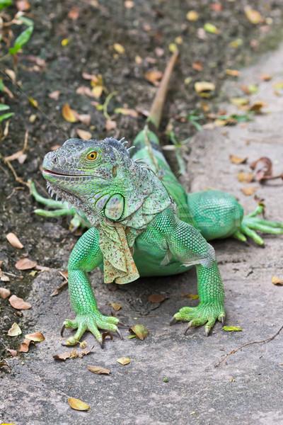 Zöld iguana erdő trópusi állat gyík Stock fotó © tungphoto