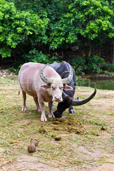 albino buffalo Stock photo © tungphoto