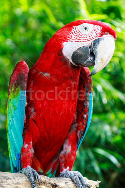 red macaw Stock photo © tungphoto