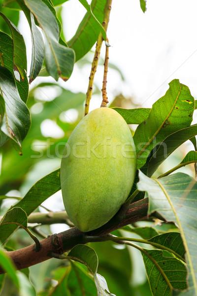 mango on mango tree Stock photo © tungphoto