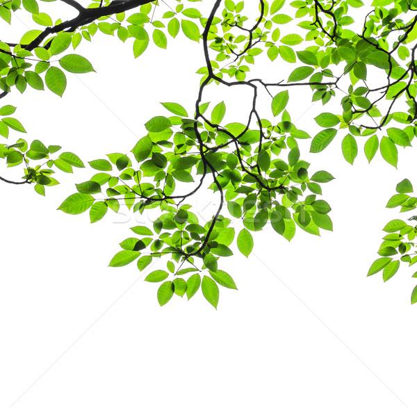 зеленые листья изолированный белый весны саду кадр Сток-фото © tungphoto