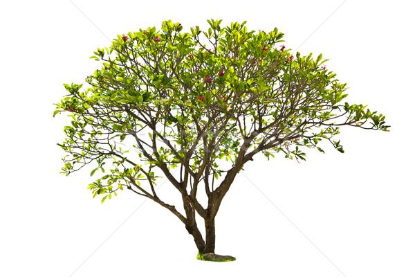 plumeria tree isolated Stock photo © tungphoto
